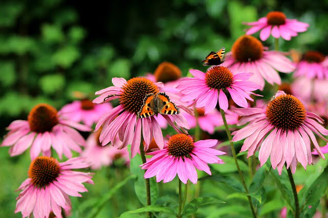 Benefici dell'Echinacea (Hedgehog Grass) 1